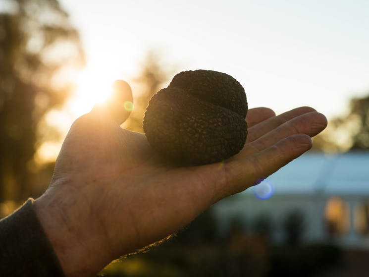 truffle canberra canbhol ACT time yummy dogs pigs holiday short term australia season