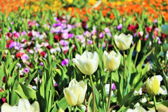 floriade 2019 canberra canbhol holiday short term lease tourism tulip flower festival