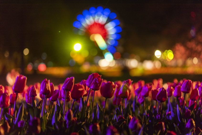 floriade 2019 daisy flower festival canberra ACT short term holiday accommodation hotel tulip farm motel budget nightfest dark side