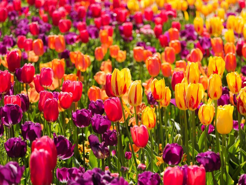 floriade reimagined tulip festival canberra short term holiday accommodation canbhol hotel motel budget friendly family 2020 flowers